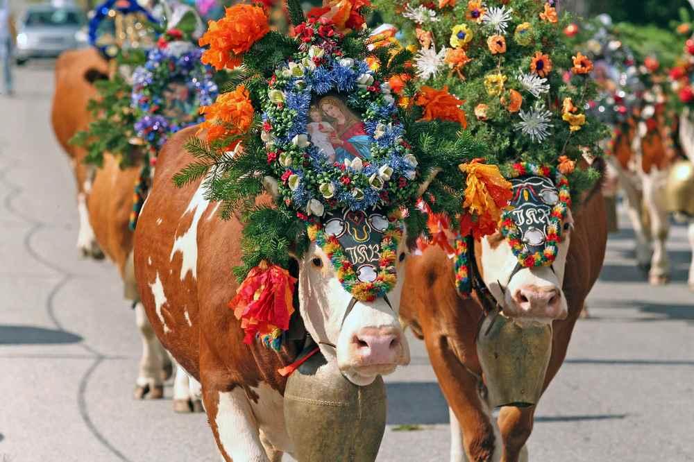 Der Almabtrieb Achensee - ein schönes Fest im Herbst im Karwendel. Die Kühe werden festlich geschmückt, Foto: Tirolwerbung, TVB Achensee