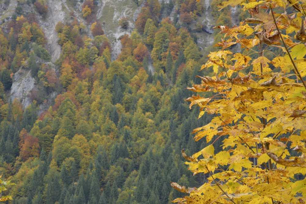 Der Herbst ist da: Im Dristenautal wachsen entlang des Weges zur Bärenbadalm viele Laubbäume, die im Herbst schön gefärbt sind
