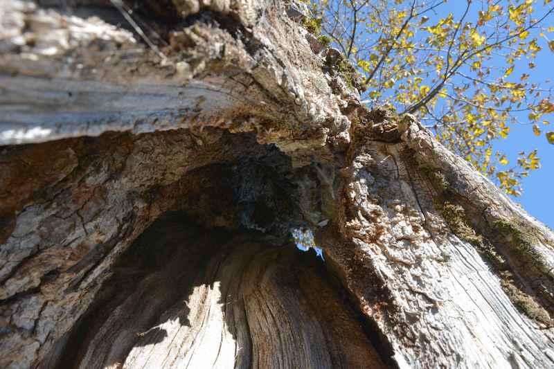 Dafür ist das Karwendel bekannt: Die knorrigen mehrere hundert Jahre alten Ahornbäume - mit Blick durch den Stamm in den Himmel