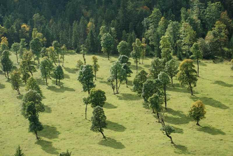 Über 2000 Bäume stehen am großen Ahornboden: Bergahorn an Bergahorn.