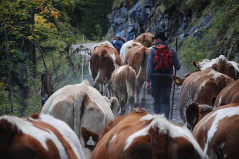 Der Almabtrieb von der Eng in Tirol auf die Binsalm im Karwendel