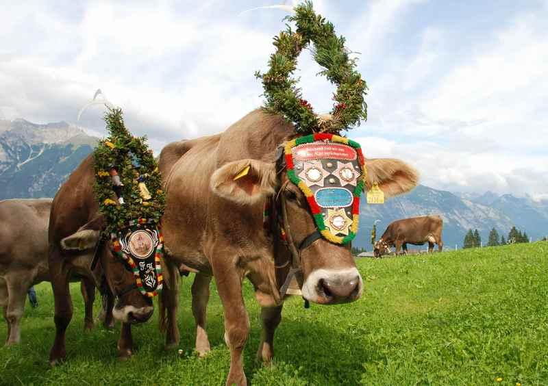 Eine schöne Tradition im Herbst: Der prachtvolle Almabtrieb der Kühe in den Alpen