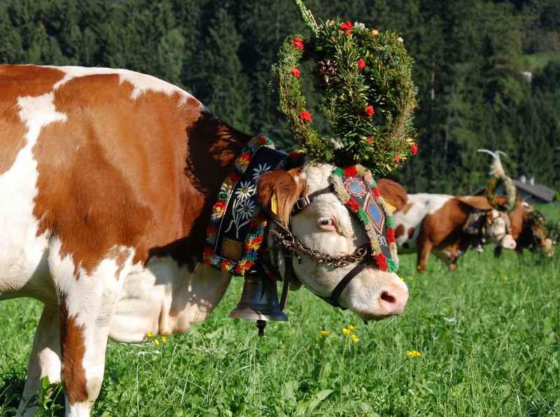 Eine der beliebtesten Veranstaltungen: Der Almabtrieb im Karwendel