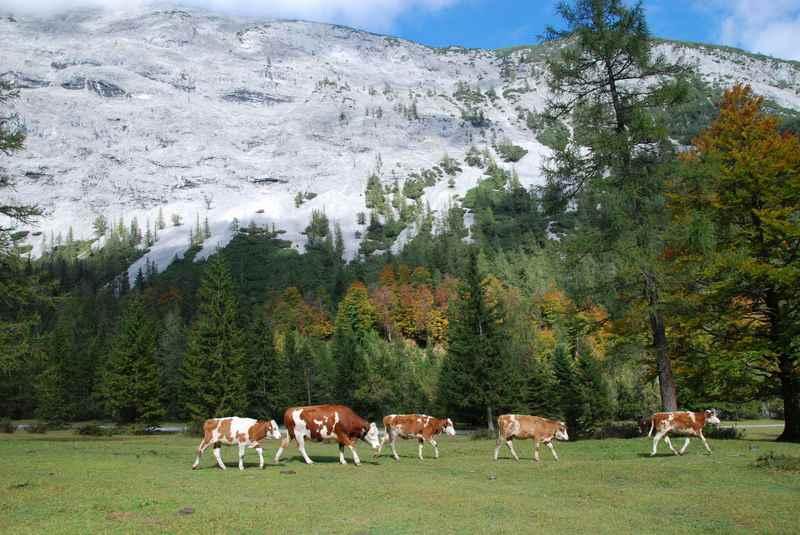 Almabtrieb im Karwendelgebirge: Wie im Bilderbuch im Stallental