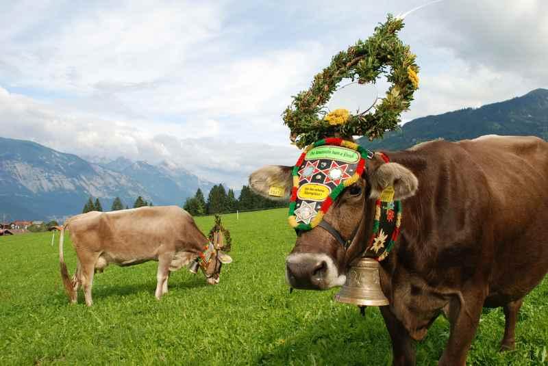 Almabtrieb Tirol - die Kühe kommen von den Almen im Karwendel zurück in den Stall