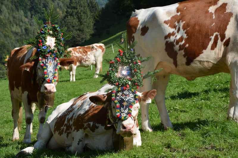 Die Kühe sind bereits fertig geschmückt für den Almabtrieb in Tirol, Karwendel