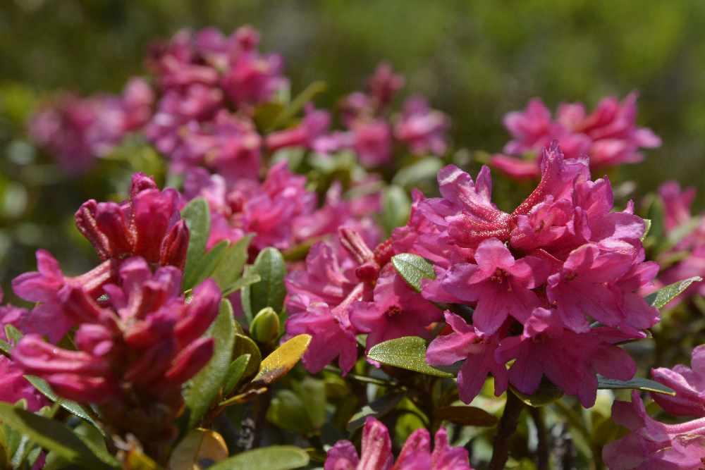 Die Almrosen - Blütten sind kleiner als bei den normalen Rosen. Dafür haben die Sträucher der Alpenrosen viele Blüten auf engem Raum.