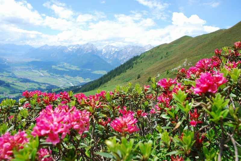Wenn Pfingsten spät fällt, gibt es an einigen sonnigen Hängen schon die Almrosen in voller Blüte zu sehen