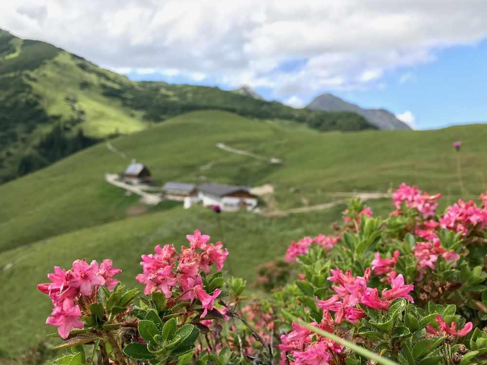 Die Almrosen auf den Almen im Karwendel