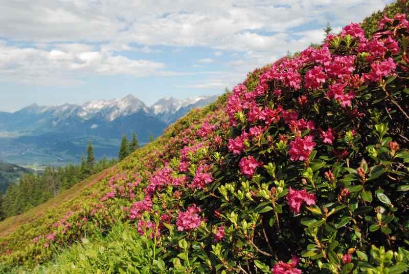 Tausende von Almrosen blühen im Juni bei der Wanderung zur Kellerjochhütte