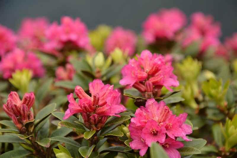 Die Almrose oder Alpenrose wächst im Naturpark Karwendel