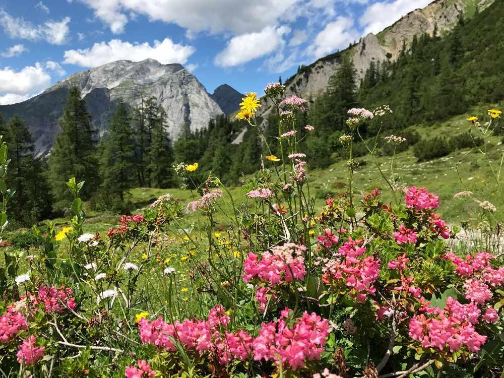 Alpenrosen - eine der selten Almrosen mitten im Karwendel