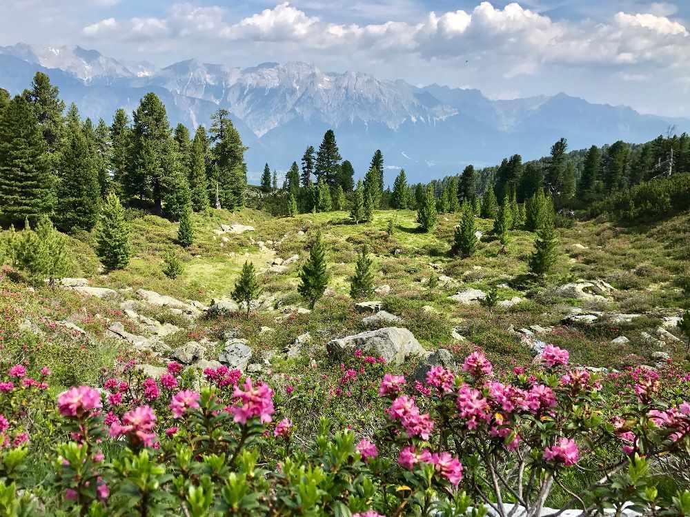 Zirbenweg wandern und die Alpenrosen Blütezeit im Juni und Juli erleben