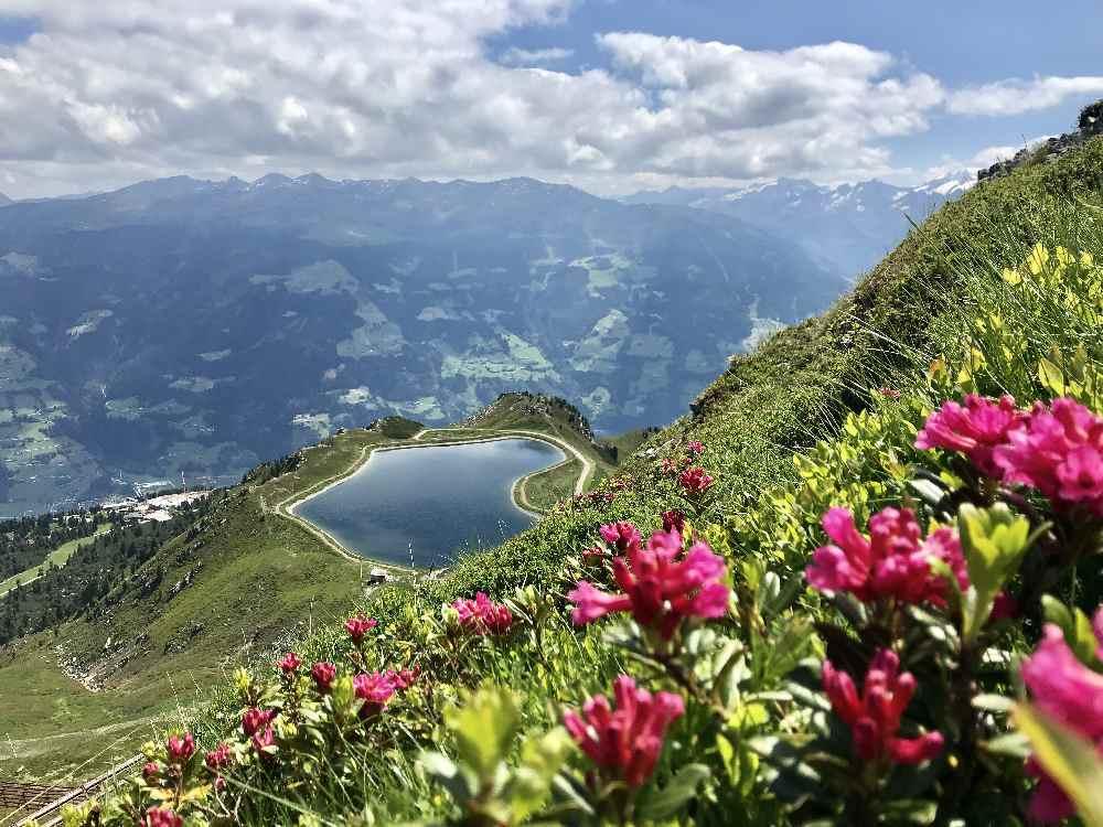 Zillertal Sehenswürdigkeiten: Tiefrot blühen die Alpenrosen oder Almrosen im Zillertal