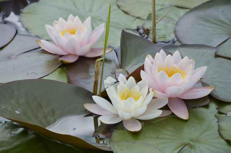 Im Sommer blühen am Barmsee auch die Seerosen