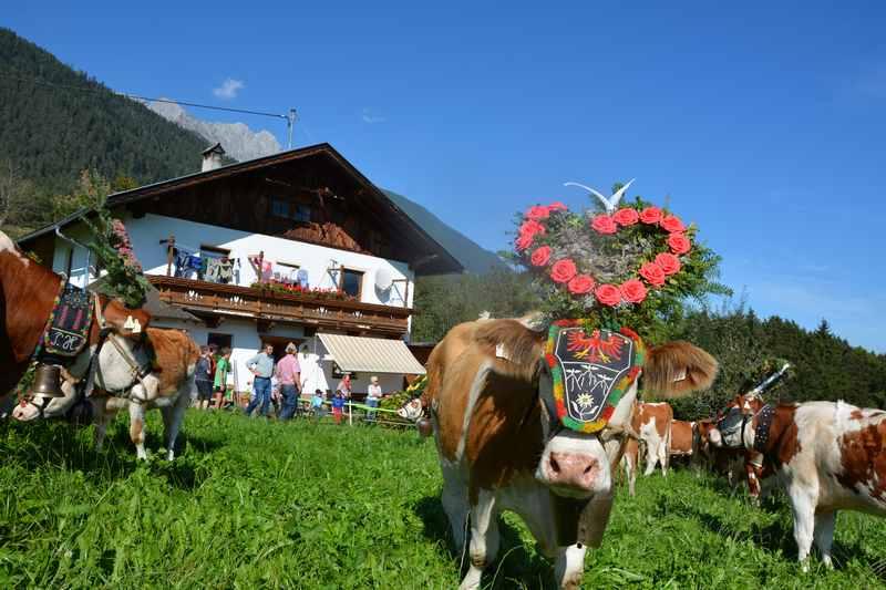 Bauernhofurlaub Karwendel: Die Kühe kommen vom Almabtrieb zurück - am Bauernhof leben die Traditionen