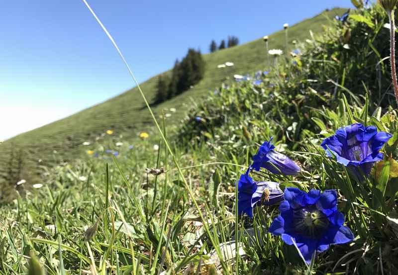 Die Baumgartenschneid ist auch eine schöne Frühlingswanderung. Die Enzian blühen am Gipfel