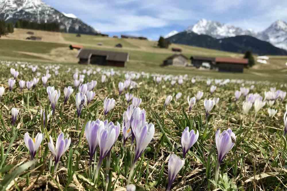 So schaut es rund um Mittenwald in den Buckelwiesen aus, wenn der Frühling die Krokusblüte bringt