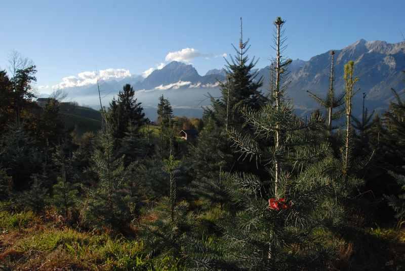 """Damit die Zweige am Tiroler Christbaum gleichmäßig wachsen, bekommt der Weihnachtsbaum rote """"Klammern"""""""