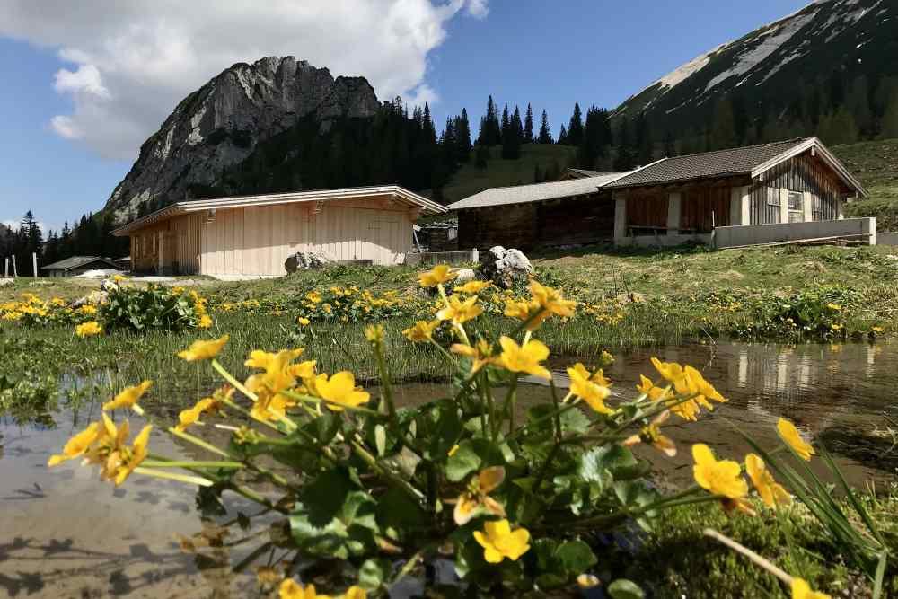 Der Frühling lässt die Blumen bei der Pasillalm im satten Gelb erstrahlen