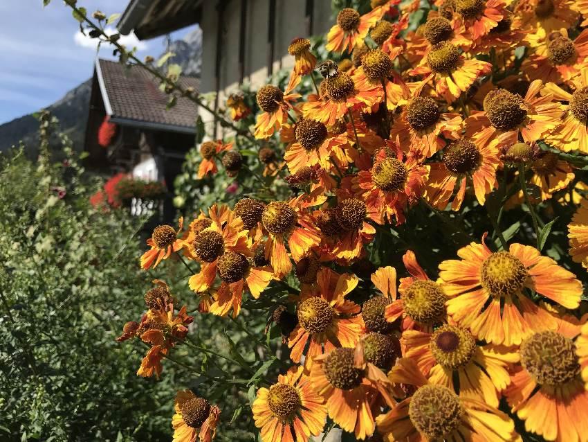 Im Sommer wachsen die Blumen vor den Bauernhäusern in Gnadenwald