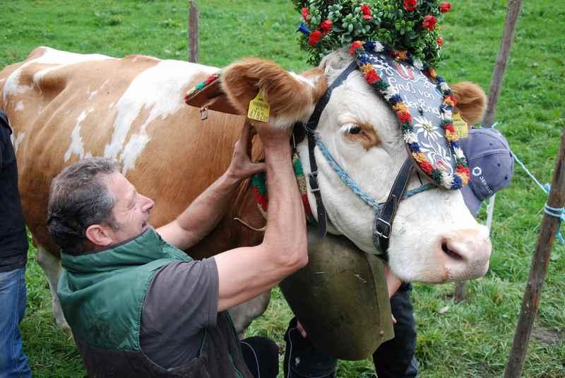 Herbsturlaub Karwendel: Die Kühe werden wie früher zu Großvaters Zeiten liebevoll im September für den Almabtrieb geschmückt
