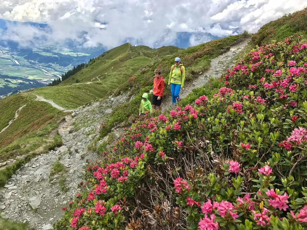Alpenrosen Meer auf der Hüttentour: Am Inntaler Höhenweg zwischen 40.000 Almrosen wandern