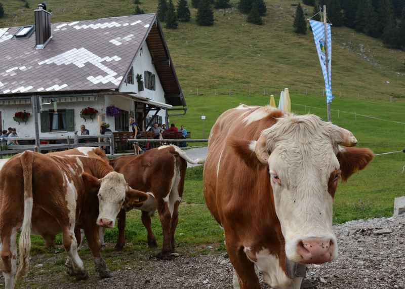 Auf der Jocheralm wanderung kannst du Kühe treffen