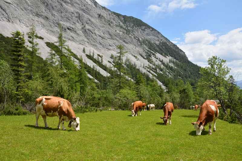 Almidylle mit Kühen im Stallental unterhalb der Stallenalm