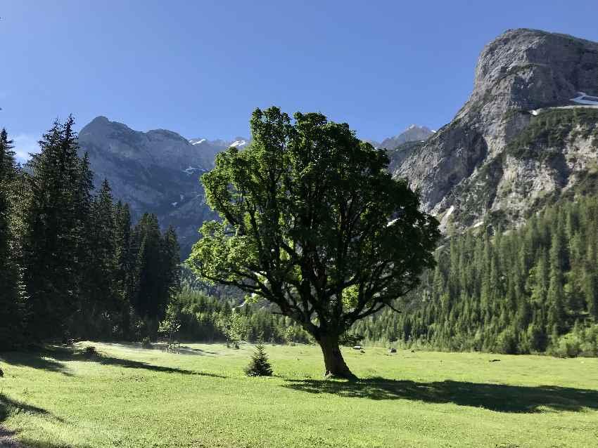 Ahornboden? - nein, dieser Baum steht im Karwendeltal Talgrund, vor dem Anstieg zur Hütte