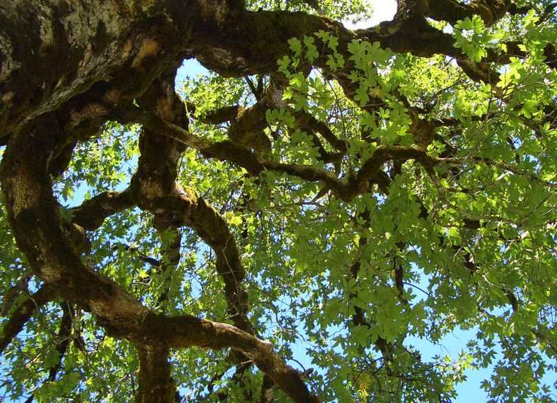 Mächtige alte Ahornbäume begleiten uns auf der gesamten Karwendeltour - nirgendwo in den Alpen ist das Vorkommen so ausgeprägt wie im Karwendel