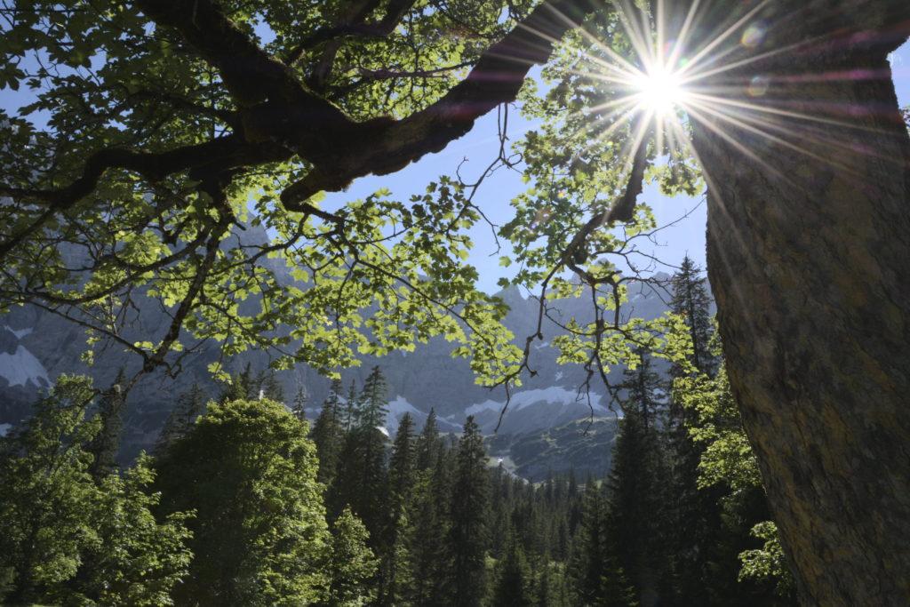 Eine Besonderheit: Das zahlreiche Vorkommen des Bergahorn