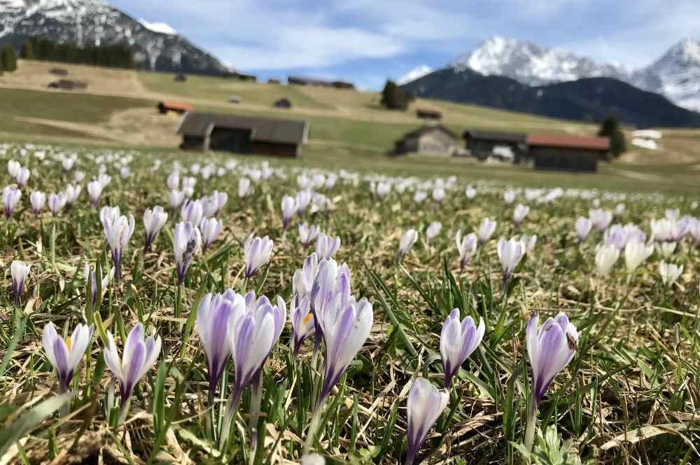 Karwendel wandern im Frühling - zur Krokusblüte