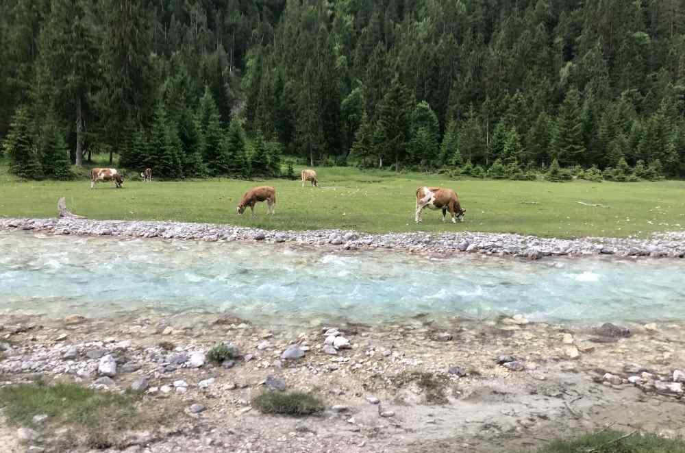 Grau, türkis, grün, braun: Die Kühe grasen neben der Isar - und bringen Farbe ins Bild