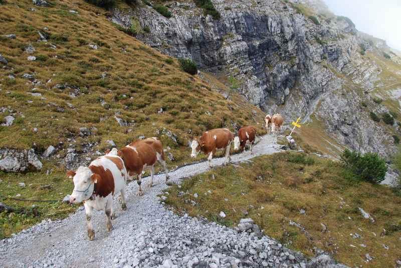 Im Herbst müssen die Kühe beim Almabtrieb vom Ahornboden über das Lamsenjoch