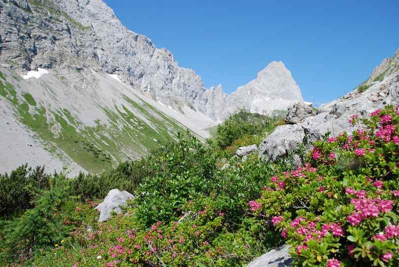 Durch das Stallental zur Lamsenjochhütte wandern, Almrosen im Karwendel