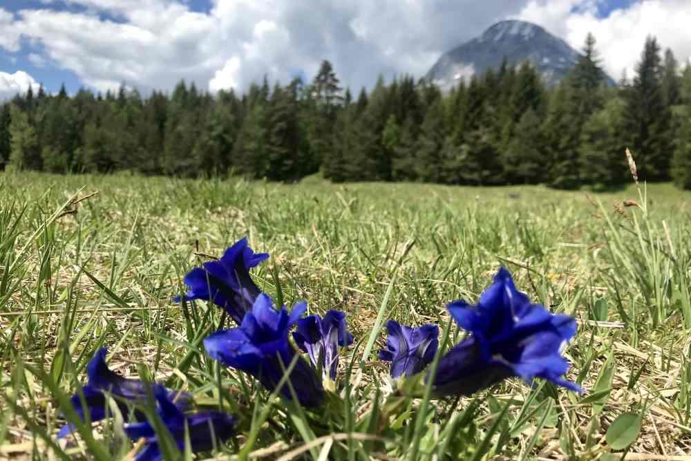 Im Mai blühen die Enzian am Lottensee, toll bei einer Frühlingswanderung in Tirol