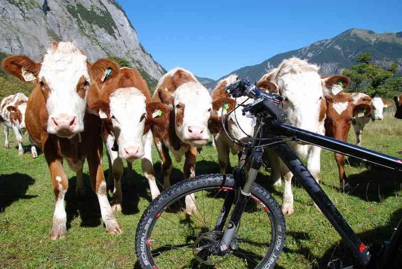 MTB Ahornboden? Die Kühe im Karwendel interessieren sich für´s Mountainbike