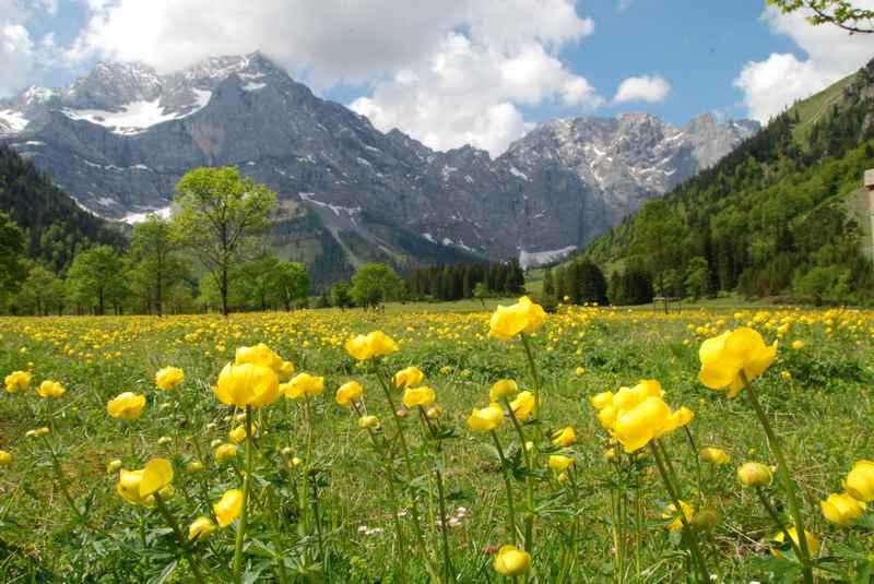 Das saftige Gelb der Trollblumen am Ahornboden, ideal für einen Mai Urlaub