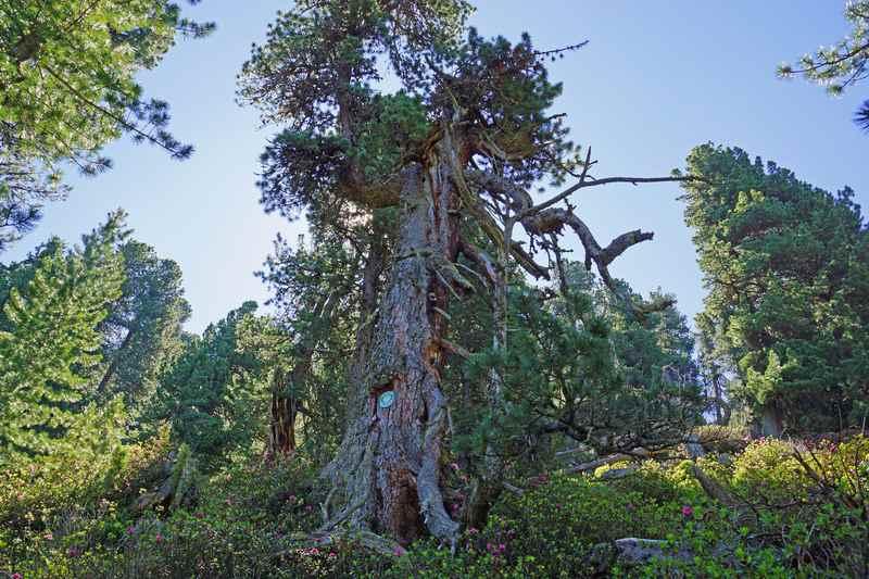 Der älteste Baum in Tirol: Zur Zirbe in den Tuxer Alpen wandern, Foto TVB Hall-Wattens.at