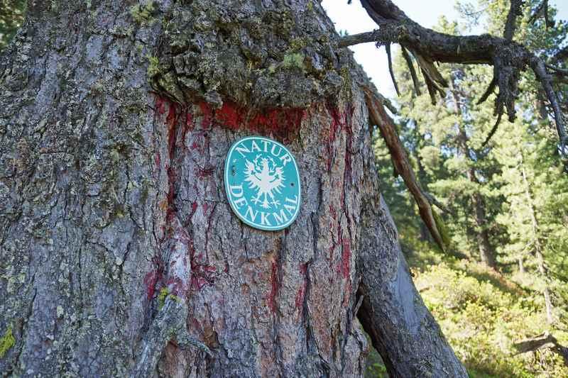 Diese Zirbe ist ein Naturdenkmal und der älteste Baum in Tirol, Foto TVB Hall-Wattens.at