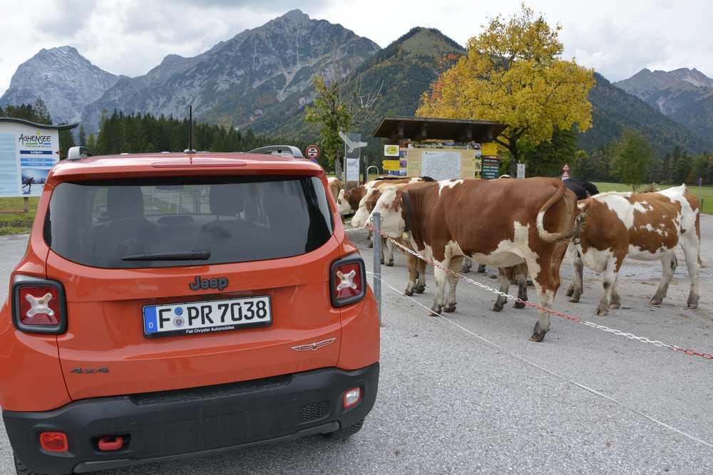 """Am offiziellen Parkplatz in Pertisau am Eingang der Karwendeltäler """"parken"""" die Kühe neben den Autos, aber mit Absperrung getrennt"""