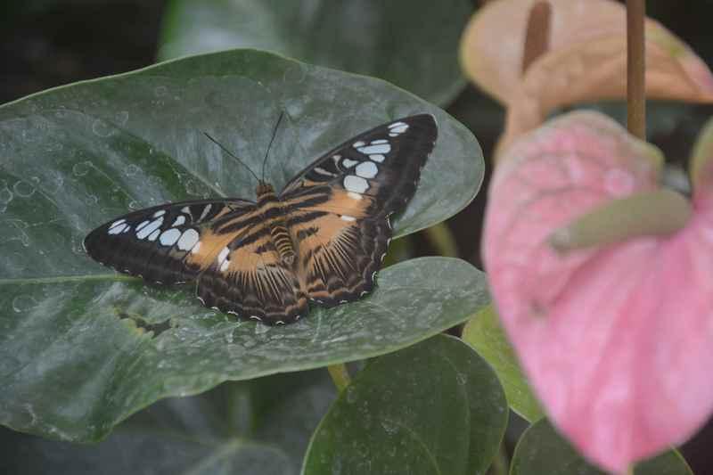 Viele bunte und auch große Schmetterlinge im Schmetterlingshaus Tirol, direkt unter dem Karwendel