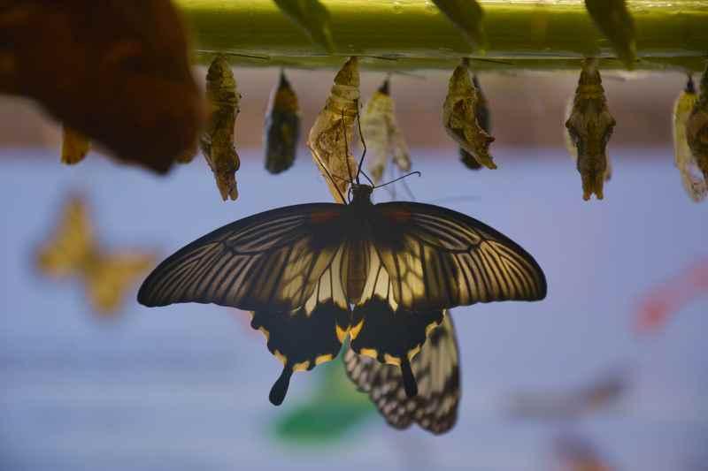 Die Schmetterlingswelt Terfens - hier kann man Schmetterlingen beim Schlüpfen zuschauen