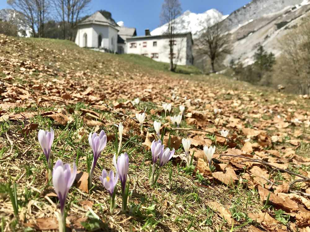 Frühlingswanderung bei der Krokusblüte im Karwendel nach St. Magdalena im Halltal