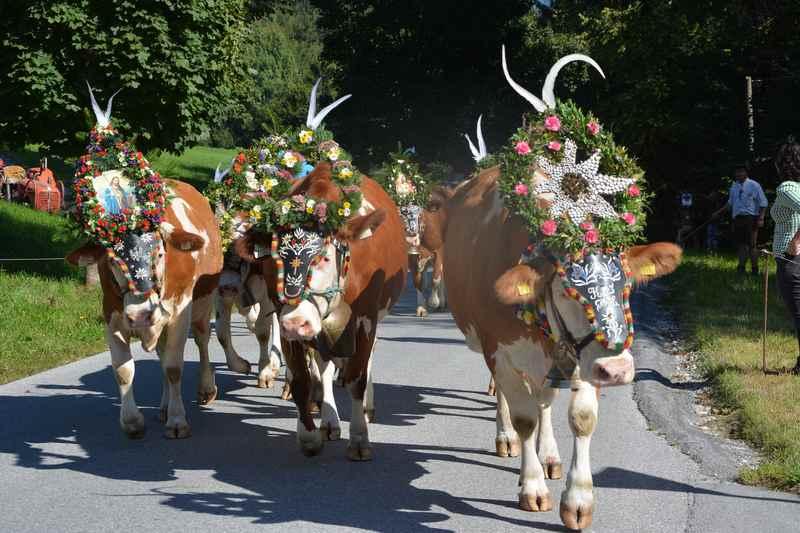 Ein echt traditioneller Almabtrieb in Terfens, die Kühe kommen von der Engalm im Karwendel