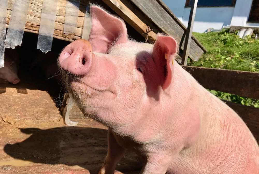 Sauwohl fühlen sich die Tiere auf der Dalfazalm im Sommer - so wie das Almschwein hier