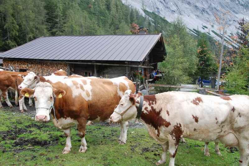 Bei der Stallenalm gibt es eine kurze Pause beim Almabtrieb in Tirol