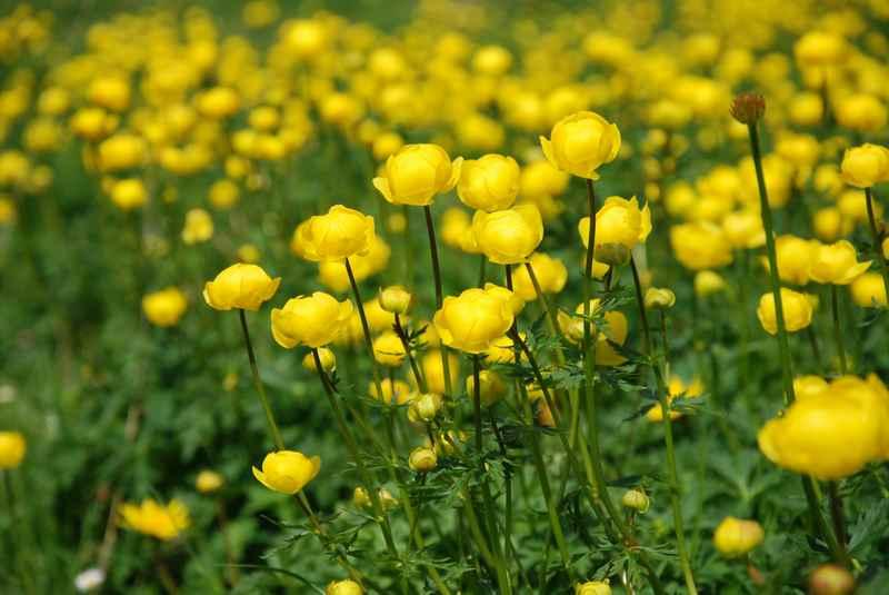 Der Grund für eine Wanderung im Frühling: Die bunten Trollblumen am Ahornboden im Karwendel
