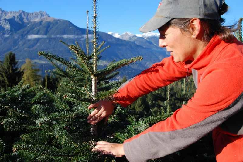 Jahre dauert es, bis der Weihnachtsbaum geerntet werden kann. Dazwischen ist viel Pflege zu machen, hier in Weerberg mit dem Karwendel